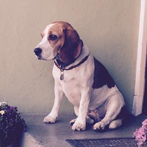 Beagledame Phoenix